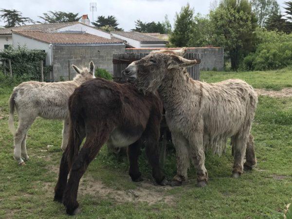 Anes du Poitou en groupe