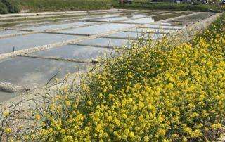 Ile de Ré Marais salants avec fleurs